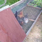 Chickens and SketchUp